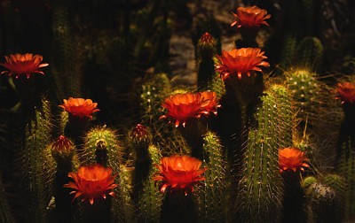 Red Cactus Flowers  Art Print by Saija  Lehtonen