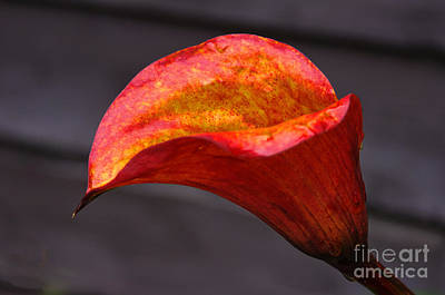 Photograph - Red Calla Lilly by Ron Roberts