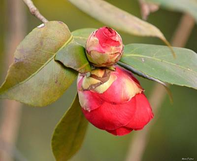 Photograph - Red Camelia Buds by Maria Urso