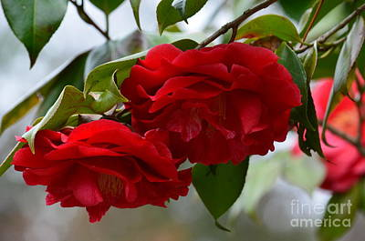 Photograph - Red Camelias by Maria Urso