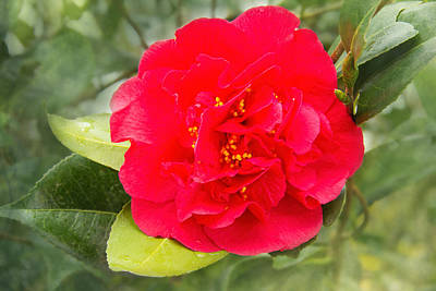 Camellia Photograph - Red Camellia Bokeh by Jemmy Archer