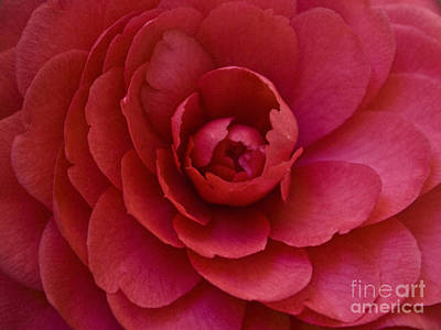 Photograph - Red Camellia by Cindy Garber Iverson
