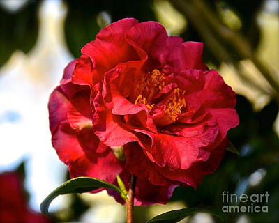 Photograph - Red Camellia Japonica by Carol  Bradley