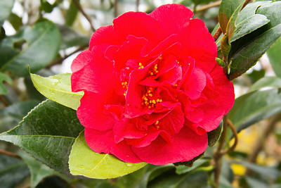 Camellia Photograph - Red Camellia by Jemmy Archer