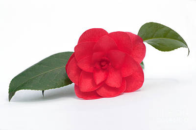 Photograph - Red Camellia by Terri Waters