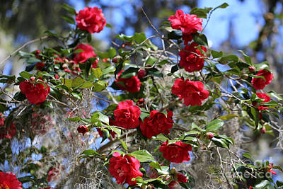 Red Camellias And Blue Sky Art Print by Carol Groenen