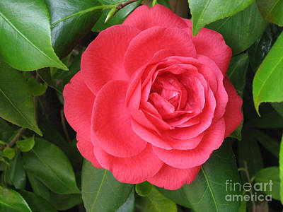 Photograph - Red Camellia At Laguna Niguel by Conni Schaftenaar