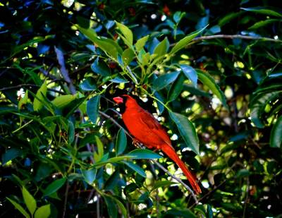 Photograph - Red Cardinal 1 by Kristina Deane