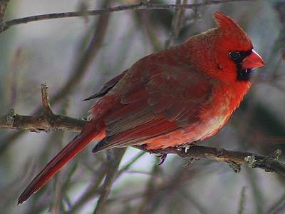 Photograph - Red Cardinal At Rest by Bruce Bley