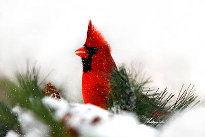 Male Northern Cardinal Photograph - Red Cardinal by Christina Rollo