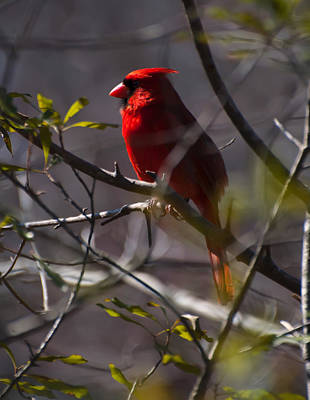 Cardinal Digital Art - Red Cardinal In A Tree 1 by Chris Flees