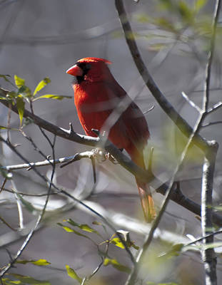 Cardinal Digital Art - Red Cardinal In A Tree 2 by Chris Flees