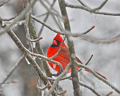 Photograph - Red Cardinal Northern Bird by Peggy Franz