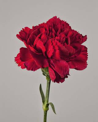 Red Carnation Print by John Koscinski