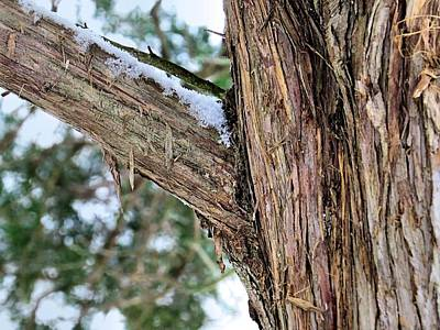 Photograph - Red Cedar by Janice Drew