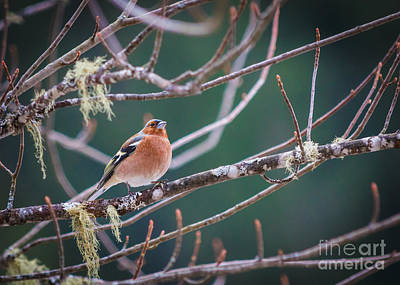 Photograph - Red Chaffinch Perched by Peta Thames