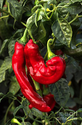 Photograph - Red Chilaca Chilis by Craig Lovell