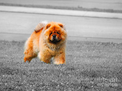 Photograph - Red Chow by Jai Johnson