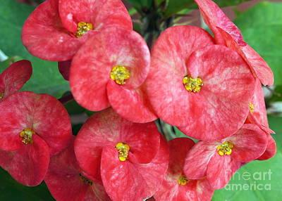 Photograph - Red Christ Crown Flower by Rachel Munoz Striggow