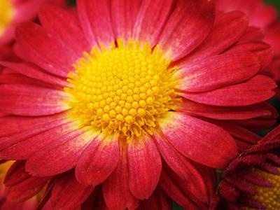 Photograph - Red Chrysanthemum by Christina Rollo