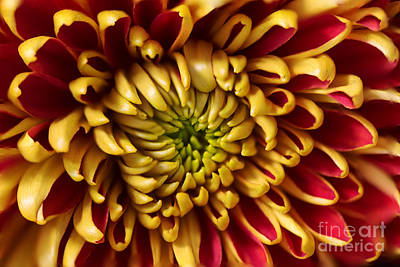Red Chrysanthemum Art Print