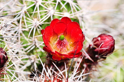 Photograph - Red Claret Cup Cactus by Bonnie Fink