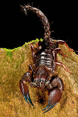 Scorpion Photograph - Red Claw Emperor Scorpion, Pandinus by David Northcott