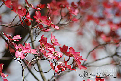 Photograph - Red Cloud Dogwood 2012410_91a by Tina Hopkins