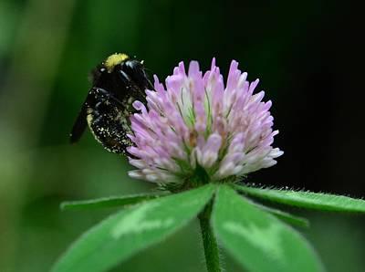 Photograph - Clover Bee by Rae Ann  M Garrett
