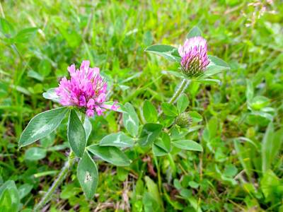 Photograph - Red Clover by Kendall Kessler