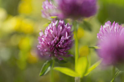 Close Focus Nature Scene Photograph - Red Clover _trifolium Pratense__ Black by Carl Bruemmer
