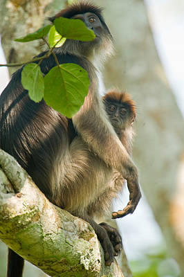 Red Monkey Photograph - Red Colobus Monkey With Its Young One by Panoramic Images