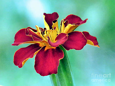 Photograph - Red Colored Marigold by Janice Drew