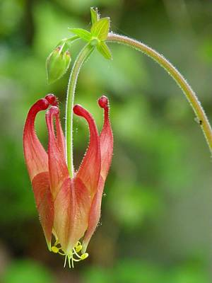 Photograph - Red Columbine Flower by Sharon Popek
