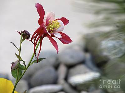 Photograph - Red Columbine by Phyllis Kaltenbach