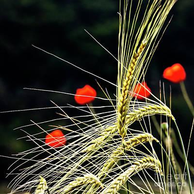 Red Corn Poppies Art Print by Heiko Koehrer-Wagner