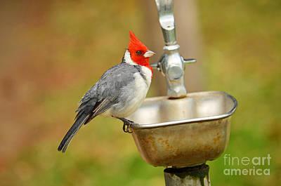Digital Art - Red Crested Cardinal by Eva Kaufman
