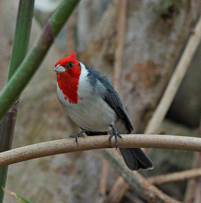 Photograph - Red Crested Cardinal by Sandy Keeton