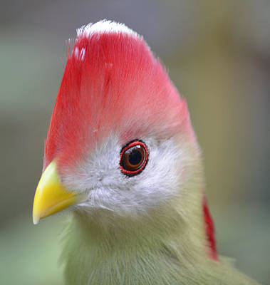 Red Crested Turaco Art Print
