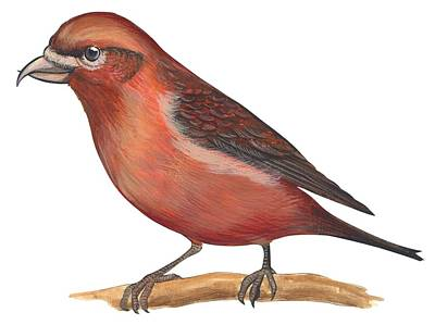 Horizontal Drawing - Red Crossbill by Anonymous