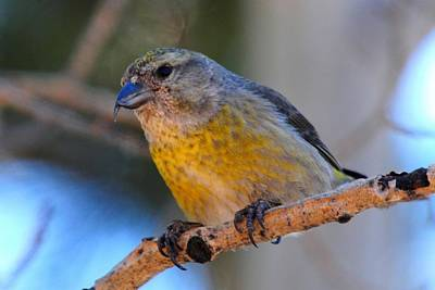 Photograph - Red Crossbill Female by Marilyn Burton