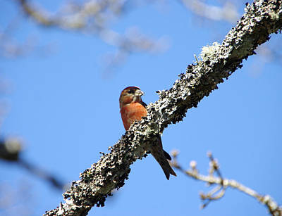 Crossbill Photograph - Red Crossbill Finch by Marilyn Wilson