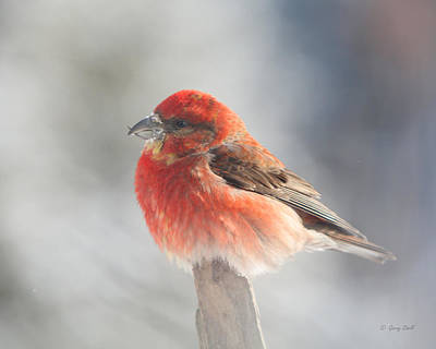 Photograph - Red Crossbill by Gerry Sibell