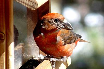 Crossbill Photograph - Red Crossbill by Marilyn Burton