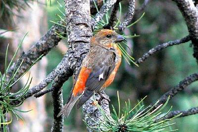 Photograph - Red Crossbill On Pine Tree by Marilyn Burton