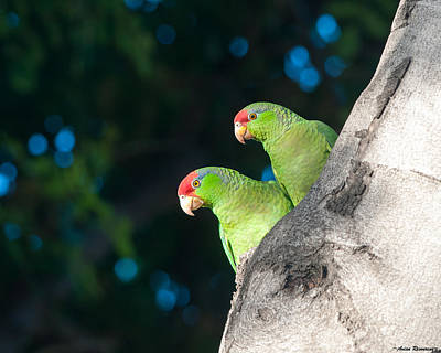 Photograph - Red-crowned Amazon Pair by Avian Resources
