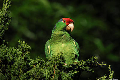 Photograph - Red-crowned Amazon Parrot In Juniper by Avian Resources