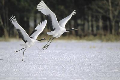 Red-crowned Crane Pair Courting Hokkaido Art Print