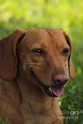 Photograph - Red Dachshund by Janice Byer