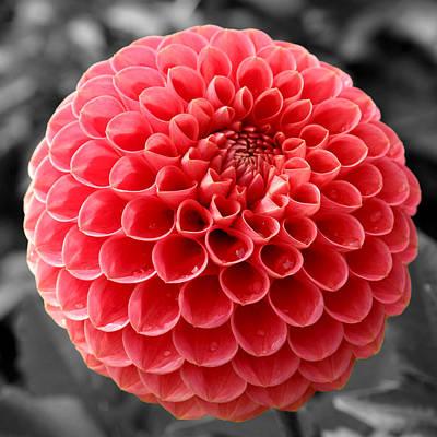 Photograph - Red Dahlia Flower by Sumit Mehndiratta
